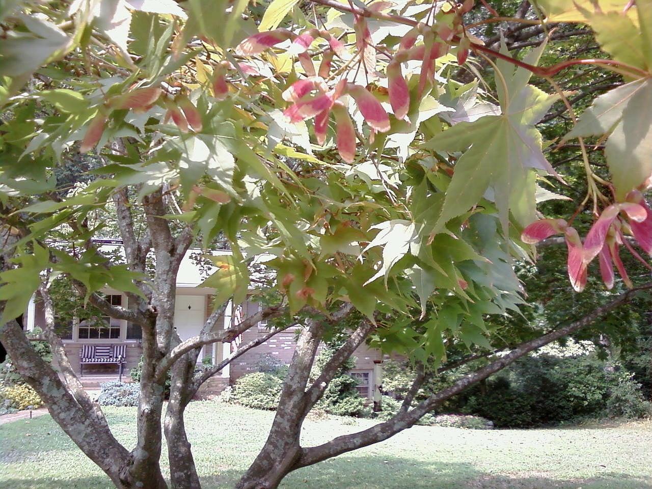 Maple Tree Seeds - Poem